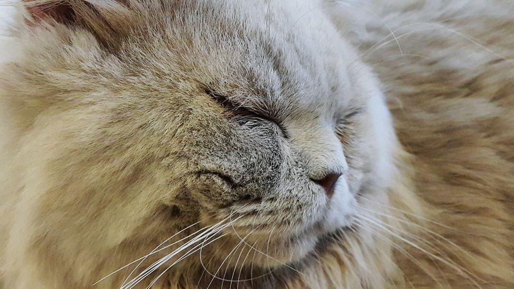 Cat Closeup Furrybaby Sleeping Cat