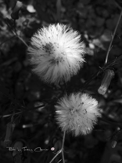 Flower Fragility Freshness Growth Beauty In Nature Close-up Nature Softness Springtime Dandelion Flower Head Season  Stem Plant Blossom In Bloom Focus On Foreground Selective Focus Botany Day