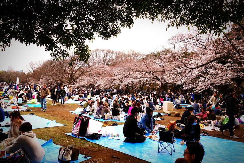 Japan Photography Japanese  Japanese Culture Hanami Sakura  Hanami Hanami 2017 Sakura2017 Sakura Sakura Trees Sakura Flower Sakura☆cherry Blossam Sakura 2017 Japanese Traditional Japanese Festival Japan Culture Japanese Garden