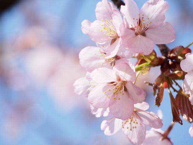 エゾヤマザクラ。札幌もようやく開花! Cherry Blossom Flower Flowerporn EyeEm Flower Pink