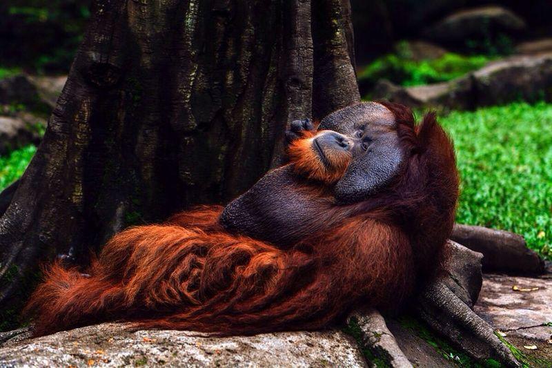 Orang Utan Photography Photo Taking Photos Hello World Animal Photography Wildlife Animals