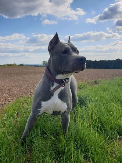 love Pets Dog Sky Cloud - Sky Agricultural Field Boxer - Dog Pet Collar Growing Pet Leash Pit Bull Terrier Leash Siberian Husky Pet Equipment Weimaraner Panting Canine Farmland English Bulldog Field Cultivated Land Blade Of Grass Growth Blooming Bulldog French Bulldog