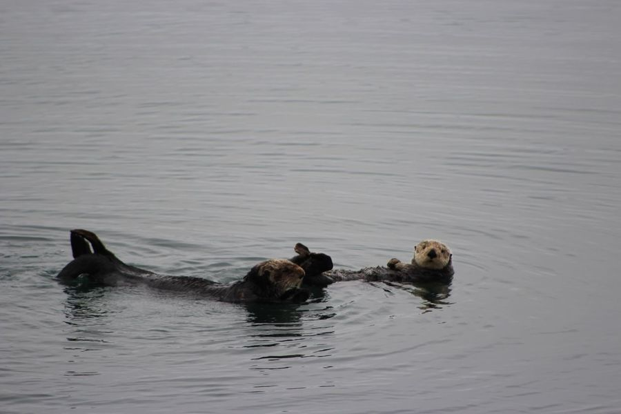 Cute otters :) Animal Themes Two Animals Lake Animals In The Wild Swimming Togetherness Waterfront Wildlife Bird Rippled Tranquility Animal Family Nature Water Bird Water Surface Zoology Beauty In Nature Sea SeaOtter Cute Animal Tranquil Scene