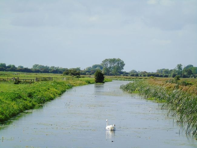 Water Swimming Tree Grass Tranquility Bird Field Growth Canal Animal Themes Nature Beauty In Nature Sky Diminishing Perspective Riverbank Non-urban Scene Nature On Your Doorstep Somerset Levels Uk In All Its Glory