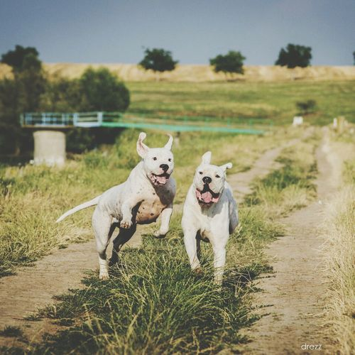 Dogo Argentino Dogs In Action Animals