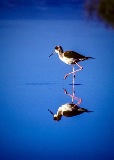 Reflection Animal Animal Themes Animal Wildlife Animals In The Wild Bird Blue Clear Sky Day Nature No People One Animal Outdoors Perching Portrait Red Legged Stilts Red Legs Seagull Side View Sky Stilt Vertebrate Water Water Bird