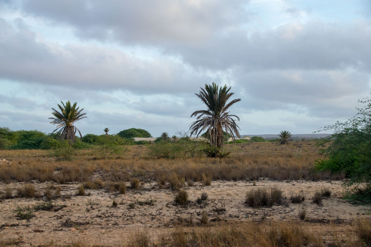 Arid and desert environment of Boa Vista, Cape Verde Boa Vista Cabo Verdé Sal Rei Cape Verde Desert Desolate Palm Tree Rabil, Boa Vista Sal Rei Tropical Paradise Africa Arid Climate Beach Boa Vista, Cabo Verde Cabo Verde Cabo Verde Africa Cape Verdean Coconut Trees Desert Beauty Dry Environment Environmental Damage Palm Trees Rabil Sand Tropical Climate