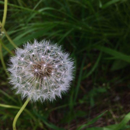 Green Vilkovo OpenEdit Nature Dandelion