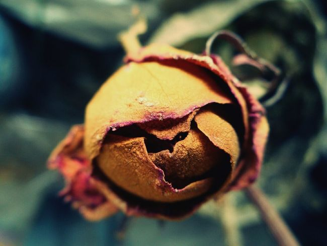 Close-up Nature No People Beauty In Nature Planet Earth Art Abstract Macro Growth Petal Fragility Flower Head Dead Rose Remains After Life