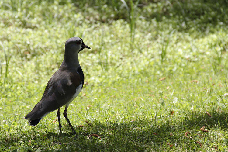 Animal Themes Animal Wildlife Animals In The Wild Bird Black Color Day Field Grass Nature No People One Animal Outdoors Perching