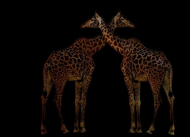 This is a creative redit of a Giraffe I took at the Toronto Zoo. Creativephoto Photoshop Toronto Nature Giraffe Giraffe TorontoZoo