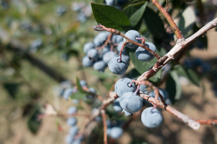 Beauty In Nature Blueberry Branch Close-up Day Focus On Foreground Food Food And Drink Freshness Fruit Growth Healthy Eating Leaf Nature No People Outdoors Plant Tree