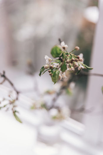 Beauty In Nature Blossom Cherry Blossom Close-up Day Flower Flower Head Flowering Plant Focus On Foreground Fragility Freshness Growth Nature No People Outdoors Plant Plant Part Selective Focus Tranquility Tree Vulnerability  White Color