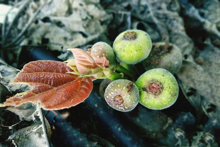 Beauty in nature, young and fresh figus fruits coming out from its branch Tree Trunk Figus Tree Fruits Beautiful Fresh Young Leaves Leaf Close-up Plant In Bloom Plant Life