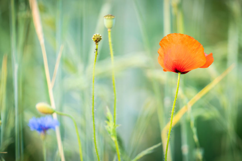 Mohn am Feldrand EyeEm Best Shots Beauty In Nature Close-up Day Field Flower Flower Head Flowering Plant Focus On Foreground Fragility Freshness Green Color Growth Inflorescence Nature No People Outdoors Plant Plant Stem Poppy Red Vulnerability