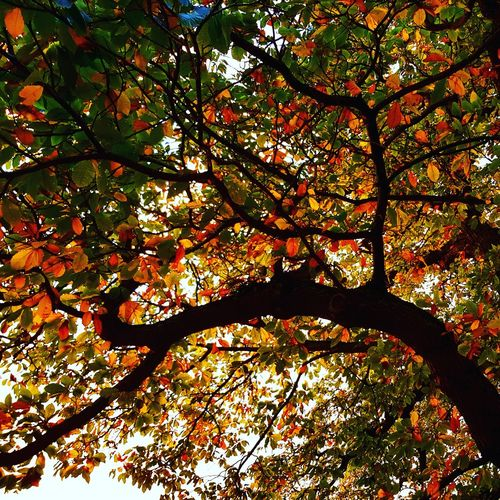 Tree Nature Backgrounds Autumn Scenics Beauty In Nature Low Angle View Under a Sweet Chestnut Tree