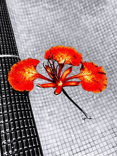 Flower Floating Pool Water Red Petals Nature Fauna Fallen Beauty Red Petals Calm