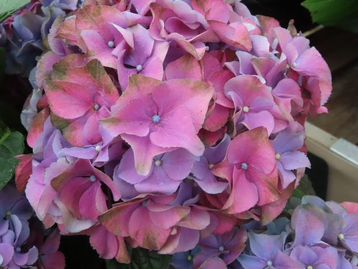 Blind Photographer Pink And Purple Petals Pink Color Beauty In Nature Freshness Flower Close-up Fragility Petal Plant Flower Head Flowering Plant High Angle View Hydrangea Botany No People