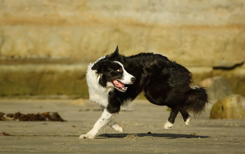 Border Collie dog Border Collie Running Action Animal Animal Themes Beach Black And White Border Collie Canine Dog Domestic No People One Animal Outdoors Pet Pets Purebred Dog