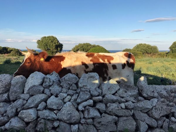 Penisola Della Maddalena Agriculture Grass Tranquility Tranquil Scene Nature Photography Beauty In Nature Animals In The Wild Animal Themes Mammal Domestic Animals Livestock Day One Animal No People Field Cow Nature Outdoors Grass Farm Animal Sky Landscape Tree