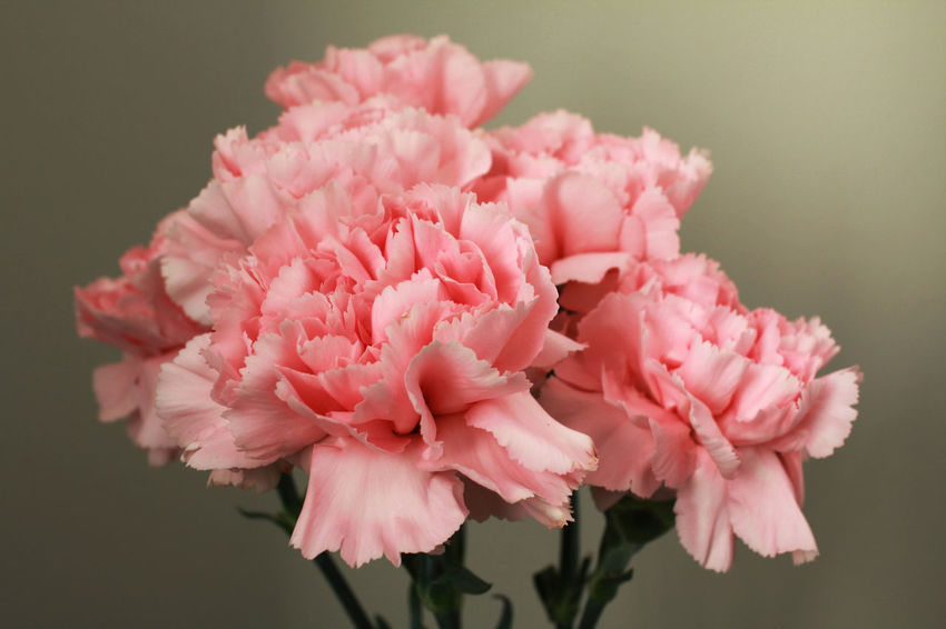 Carnations Beauty In Nature Blooming Carnation Flowers Close-up Day Flower Nature No People Petal Pink Color