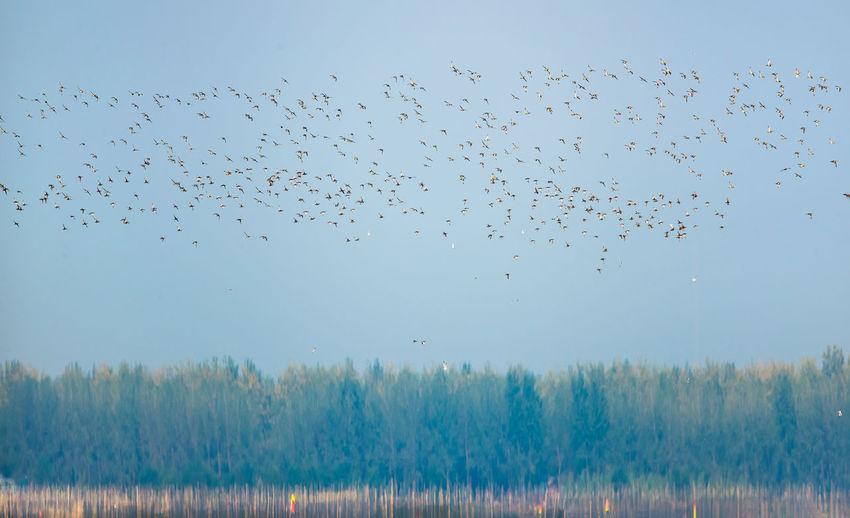 高邮湖上的野鸭鸟浪 Bird