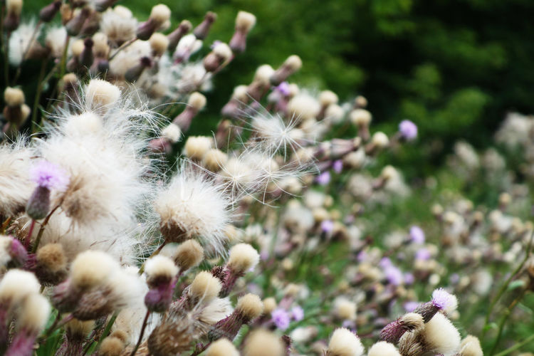 Purple flowering of marsh thistle 'cirsium palustre' in a meadow near river in poland.