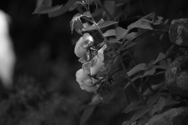 B&w Photography B&w EyeEm Selects Bird Flower Close-up Plant Blooming In Bloom Plant Life Botany Cosmos Flower Flower Head Pollination Blossom