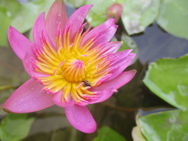 flower collection Animal Themes Animals In The Wild Beauty In Nature Bee Blooming Buzzing Close-up Day Flower Flower Head Focus On Foreground Fragility Freshness Growth Insect Lotus Flower Lotus Water Lily Nature One Animal Outdoors Petal Pink Color Plant Pollination บัว