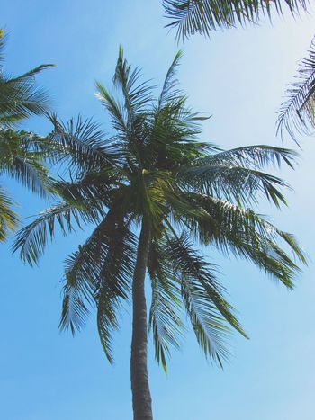 Blue Horizons Blue Sky Landscape Thailand Kosamui Blue Water Blue Water Blue Sky Ko Samui Thailand Beach Tree Palm Tree Tree Area Blue Branch Tree Trunk Summer Clear Sky Sky Travel Horizon Over Water Sandy Beach Calm Tropical Tree Countryside Date Palm Tree Coconut Palm Tree