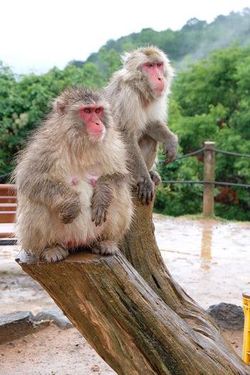 Japanese Macaque - Snow Monkey Rainy Spring Season Arashiyama Iwatayama Monkey Park Snow Monkey Animal Animal Wildlife Iwatayama Japanese Macaque Kyoto Macaque Mammal Monkey No People Primate Sitting Snow Two Two Animals