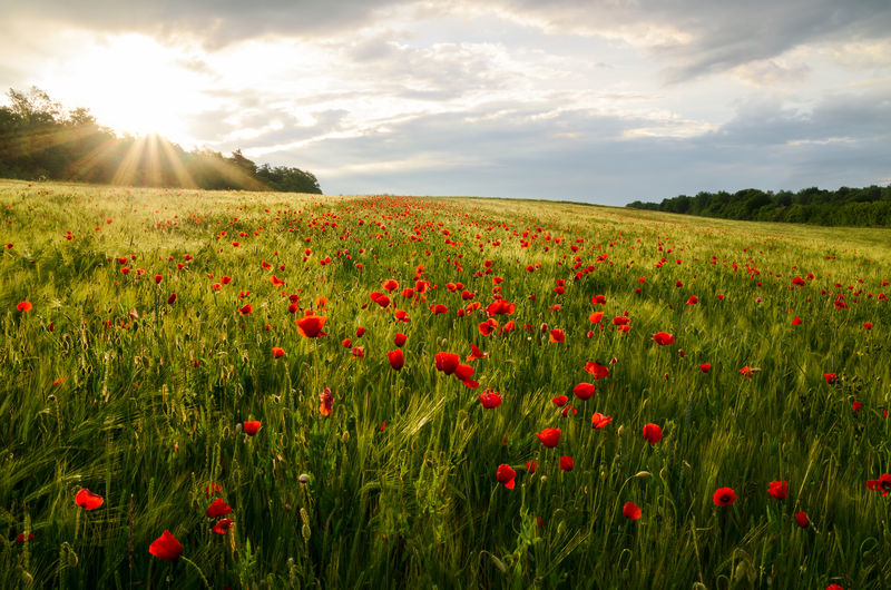 Red poppy flowers on field against sky