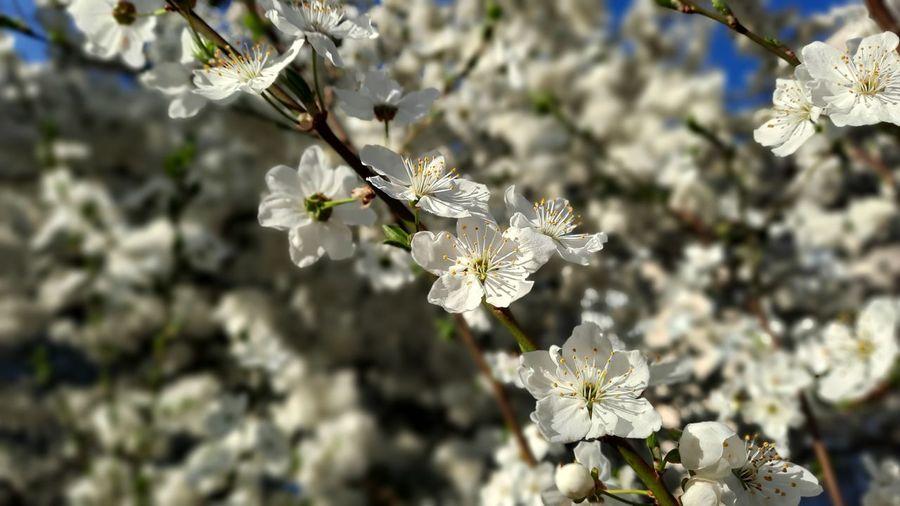 Close-up of white cherry blossom plant