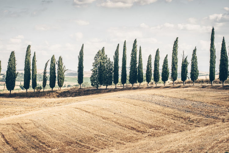 Tuscan classic landscape, cypress trees Tuscany Tuscany Countryside Tuscany Italy Cypress Plant Land Tranquility Agriculture Scenics - Nature Nature Day Outdoors Farm Plantation Landscape Beauty In Nature Tranquil Scene Classic Italy