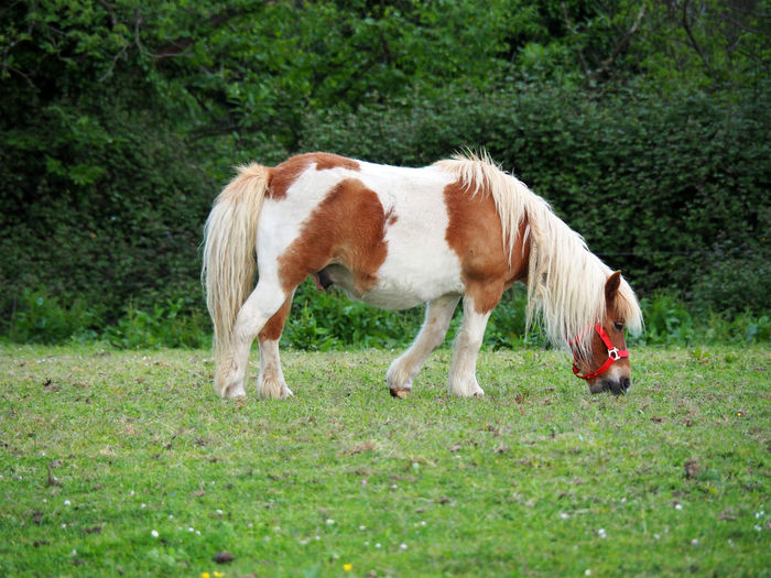 View of a brown and white pony grazing in the field Agriculture Animal Animal Themes Close-up Domestic Animals Equestrian Equine Farm Farm Animals Farming Farmland Field Grass Grazing Horse Livestock Mammal Miniature Miniature Horse Nature One Animal Outdoors Pasture Pony Rural