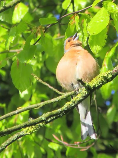 Beauty In Nature Bird Chaffinch Close-up Focus On Foreground Low Angle View One Animal Perching On A Branch Singing My Heart Out