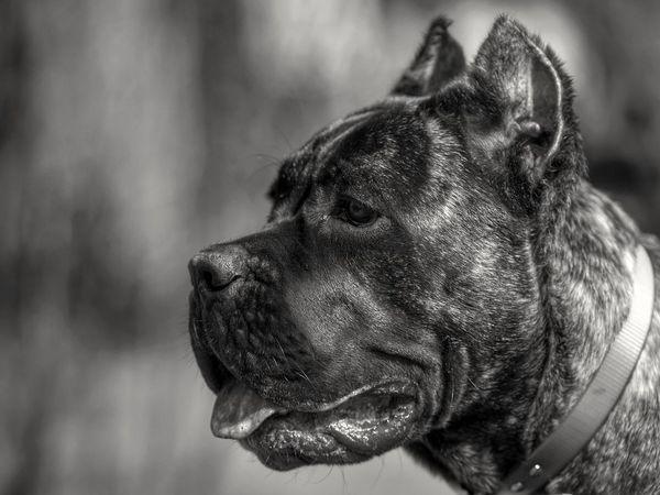 Chara Canecorsolovers Canecorso  Cane Corso Pet Love Pet Photography  Pet Pets Doglover DogLove Dogs Dog Canecorsoitaliano Black And White Photography Black & White Black And White Blackandwhite Black