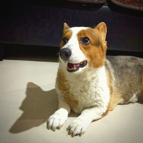 Cute First Eyeem Photo Lifeisbeautiful Pets Corner EyeEm Nature Lover Welsh Corgi Pippin, Corgi, Dog Shadow Shadows & Lights Pupolar Photos