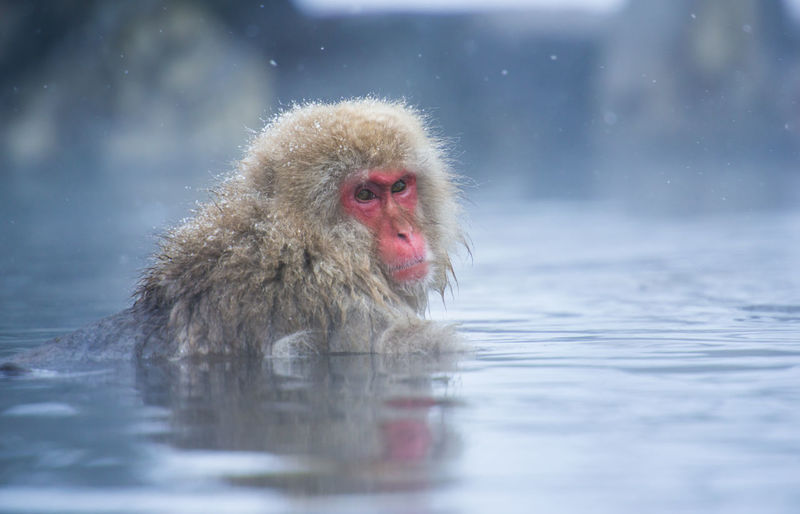 Snow monkey in a hot spring, Nagano, Japan. Animal Themes Animals In The Wild Cold Temperature Day Hot Spring Japanese Macaque Mammal Monkey Nature No People One Animal Outdoors Snow Swimming Water Waterfront Weather Winter