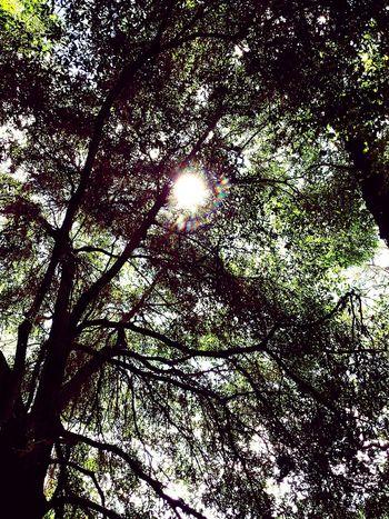 Glitch Sun Peeking Through TreePorn EyeEm Nature Lover Trees, Tree, Forest, Light, Tall, Tall Trees, Light And Shadow Creative Light And Shadow Eyeemphotography Hugging A Tree Trees And Sky Looking Up Eye4photography  Leaves And Sky Sky And Trees Treegasmic Tuesday