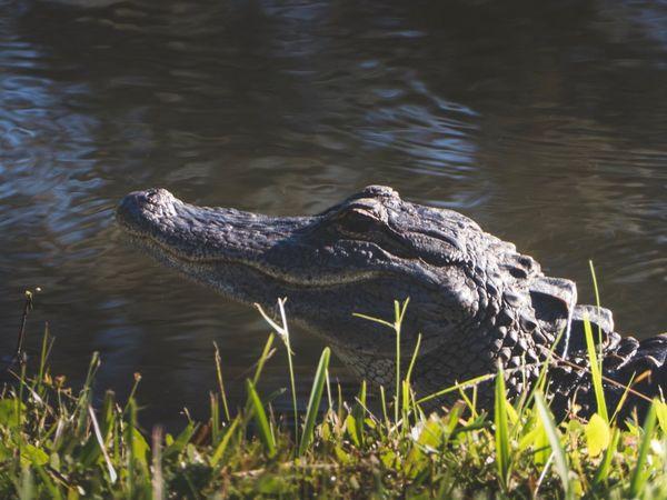 Alligator Animals In The Wild Florida Nature Gators Crocodile Alligator Animal Wildlife Reptile One Animal River Neighborhood