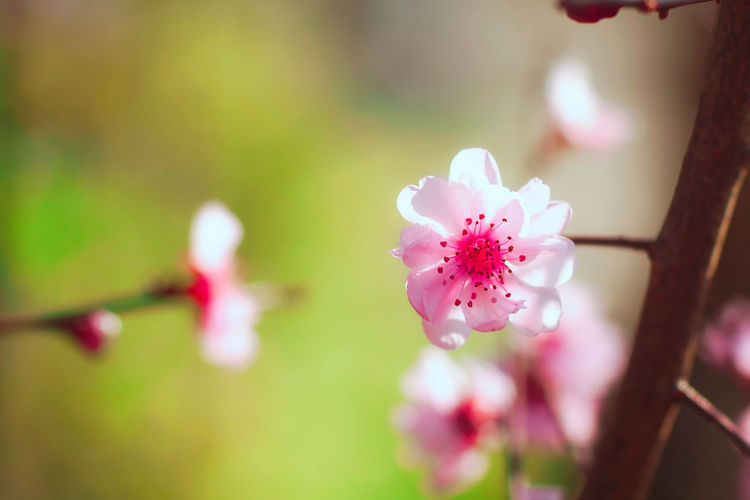 Peach Blossom Beauty In Nature Sunny Pink Color Fragility Outdoors Close-up Macro Macro Photography Macro Beauty