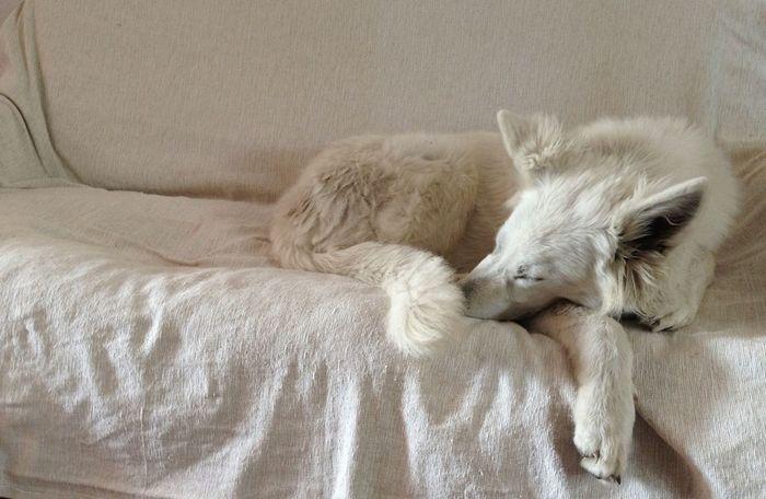 ment en blanc... Pastor Blanc Suís Berger Blanc Suisse White German Shepherd Dog