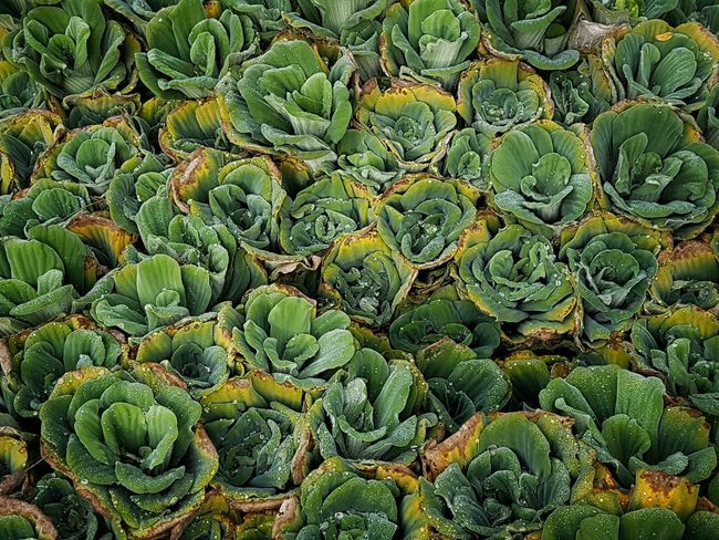 | Orto botanico | Orto Botanico Padova EyeEm Italy Backgrounds Full Frame Close-up Plant Green Color Succulent Plant Natural Pattern Plant Life Growing Botany