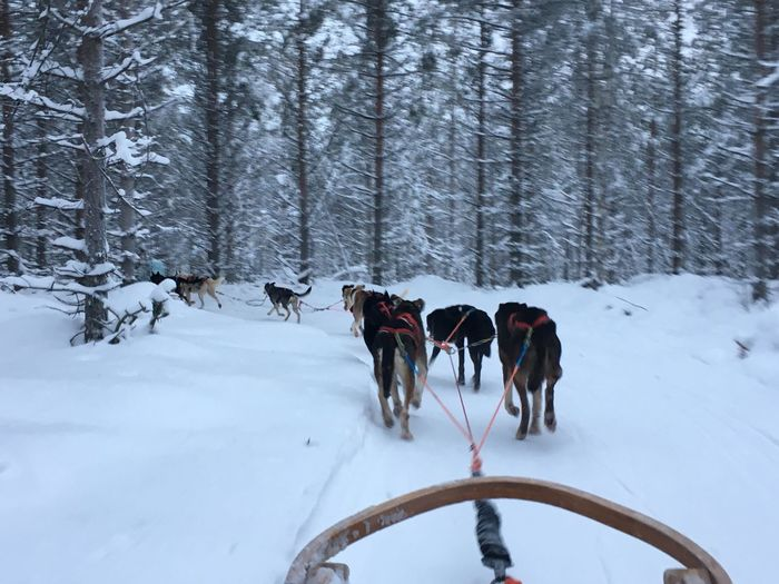 EyeEm Selects Husky tour Rovaniemi Finland Snow Winter Sled Dog Cold Temperature Working Animal Nature Animal Themes Transportation Weather Dog Domestic Animals Outdoors Day Tree Mammal No People Beauty In Nature