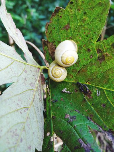 Snail Leaf One Animal Animal Shell Animal Outdoors Snail Snail🐌 Snails Snail Collection