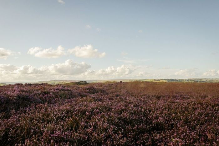Flower Field Nature Agriculture Growth Beauty In Nature Plant Tranquility Rural Scene Purple Scenics Tranquil Scene Cloud - Sky Fragility Crop  Landscape No People Outdoors Day Summer Heather Norland Moor Plant Uncultivated Agriculture