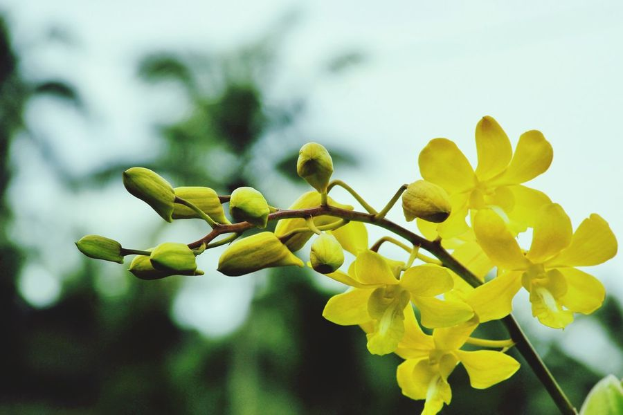 Growth Nature Plant Close-up Beauty In Nature Yellow No People Day Freshness Pussy Willow Eyeem Philippines Orchids Yellow Orchids