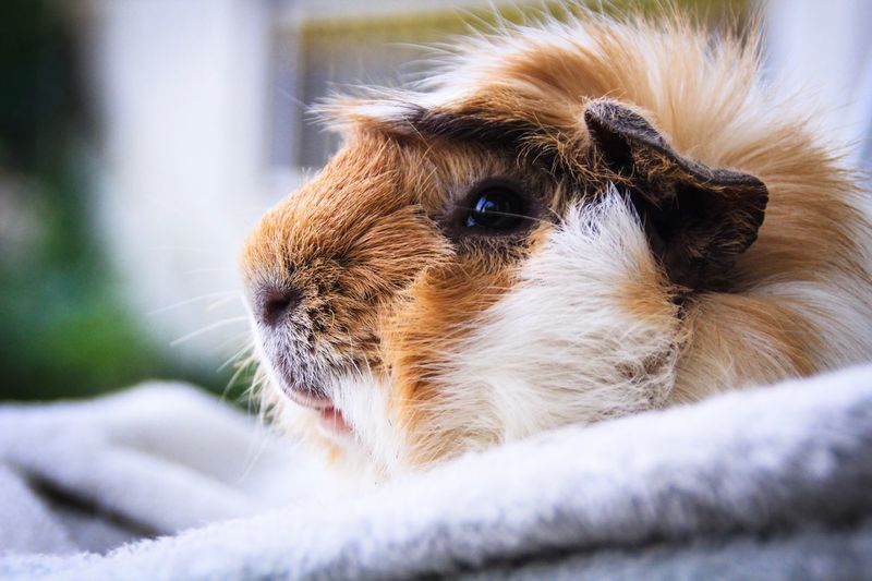 Guinea pig resting EyeEm Selects One Animal Animal Themes Mammal Animal Domestic Animals Pets Domestic Close-up No People Animal Body Part Animal Head  Selective Focus Looking Looking Away Day Animal Wildlife Relaxation