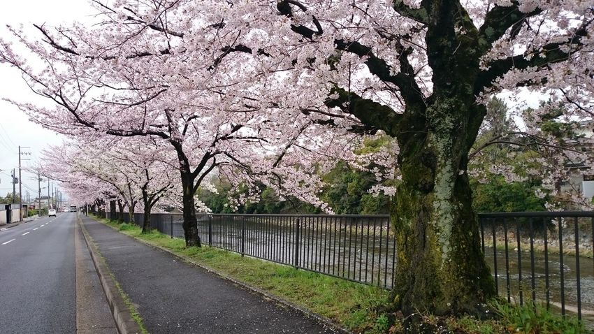 Sakura Koyto Tree River Nature Beauty In Nature Butiful 鴨川